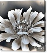Zinnia From The Whirligig Mix Acrylic Print