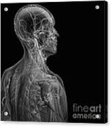 Human Anatomy Acrylic Print
