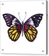 31 Delias Henningia Butterfly Acrylic Print
