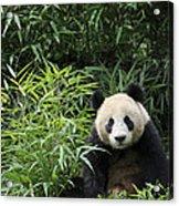 Giant Panda Acrylic Print