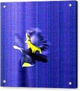 3.13 Daffodil Acrylic Print