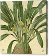 Botanical Print Or English Natural History Illustration Acrylic Print