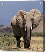 Elephant Dafrique Loxodonta Africana Acrylic Print