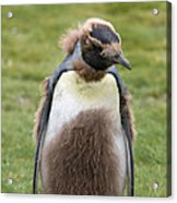 King Penguin Acrylic Print