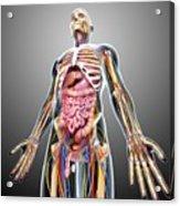 Male Anatomy Acrylic Print