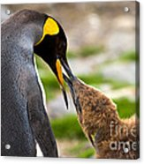 King Penguin Acrylic Print