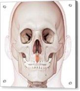 Human Facial Muscles Acrylic Print