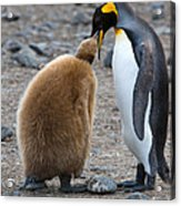 King Penguins Acrylic Print