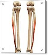 Leg Muscles Acrylic Print