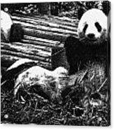 3722-panda -  Advanced Pencil Sketch Acrylic Print