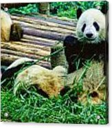 3722-panda -  Colored Photo 1 Acrylic Print