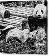 3722-panda -  Graphite Drawing 2 Sl Acrylic Print