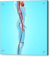 Human Arteries Acrylic Print