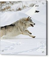 Wolf In Winter Acrylic Print