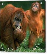 Orang Outan Pongo Pygmaeus Acrylic Print