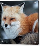 A Red Fox  On The Summit Of Mt Acrylic Print