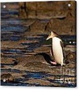 Adult Nz Yellow-eyed Penguin Or Hoiho On Shore Acrylic Print