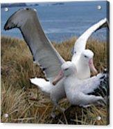 Albatros Royal Diomedea Epomophora Acrylic Print