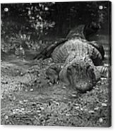 Alligator Acrylic Print