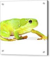 Amphibians On White Acrylic Print