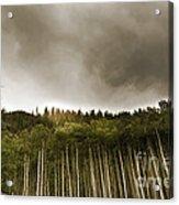 Aspen Trees In Vail Acrylic Print