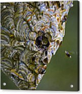 Bald-faced Hornet Nest Acrylic Print