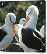 Black Browed Albatross Pair Acrylic Print