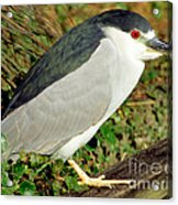 Black-crowned Night-heron Acrylic Print