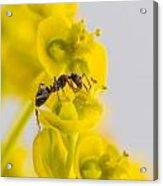 Black Garden Ant On Yellow Flower Acrylic Print