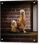 4. Brick Chicks Acrylic Print