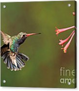 Broad Billed Hummingbird Acrylic Print