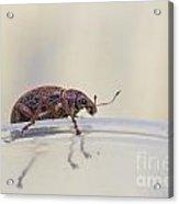Broad-nosed Weevil - Polydrusus Mollis Acrylic Print