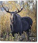Bull Moose Acrylic Print
