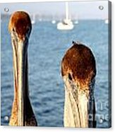 California Pelicans Acrylic Print