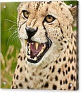 Cheetah Acinonyx Jubatus Big Cat  Acrylic Print