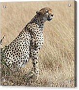 Cheetah Searching For Prey Acrylic Print