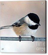 Chickadee Acrylic Print