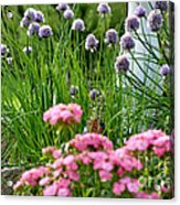 Chives In Bloom Acrylic Print