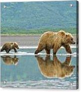 Coastal Brown Bear Pictures Acrylic Print
