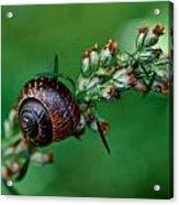 Copse Snail Acrylic Print