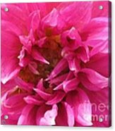 Dahlia Named Pretty In Pink Acrylic Print