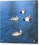 4 Duck Pond Acrylic Print