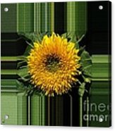 Dwarf Sunflower Named Teddy Bear Acrylic Print