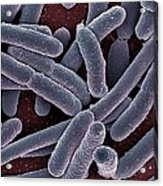 E Coli Bacteria Sem Acrylic Print by Ami Images