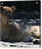 Female Lion Acrylic Print