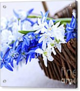 First Spring Flowers Acrylic Print by Elena Elisseeva