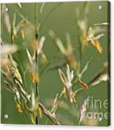 Flowering Brome Grass Acrylic Print