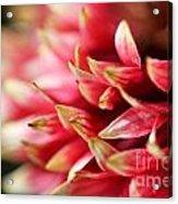 Gaillardia Pulchella Named Sundance Bicolor Acrylic Print