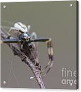 Goldenrod Crab Spider Male  Acrylic Print