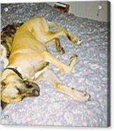Great Dane And Calico Cat Acrylic Print